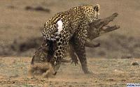 Нажмите на изображение для увеличения Название: leopard0.jpg Просмотров: 142 Размер:57.2 Кб ID:38559