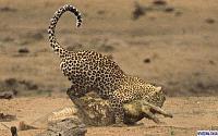 Нажмите на изображение для увеличения Название: leopard1.jpg Просмотров: 158 Размер:56.6 Кб ID:38560