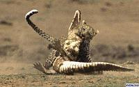 Нажмите на изображение для увеличения Название: leopard3.jpg Просмотров: 149 Размер:54.3 Кб ID:38562