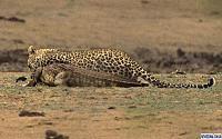 Нажмите на изображение для увеличения Название: leopard5.jpg Просмотров: 153 Размер:54.7 Кб ID:38564