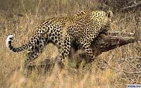 Нажмите на изображение для увеличения Название: leopard6.jpg Просмотров: 155 Размер:74.4 Кб ID:38565