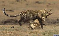 Нажмите на изображение для увеличения Название: leopard_.jpg Просмотров: 157 Размер:57.5 Кб ID:38566